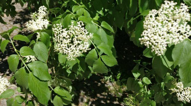 Holunderblütensirup / Elderflower-Sirup